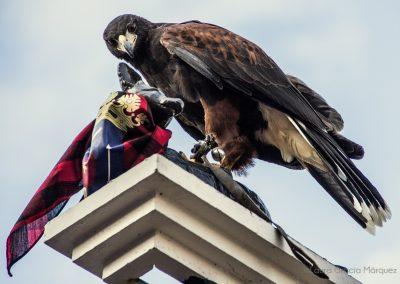 Aguila posada en el zorrico